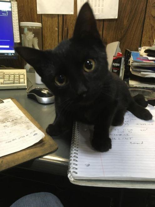 mini panther shop cat 1