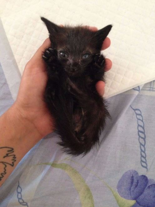 black kitten tossed away in bushes gets rescued 4