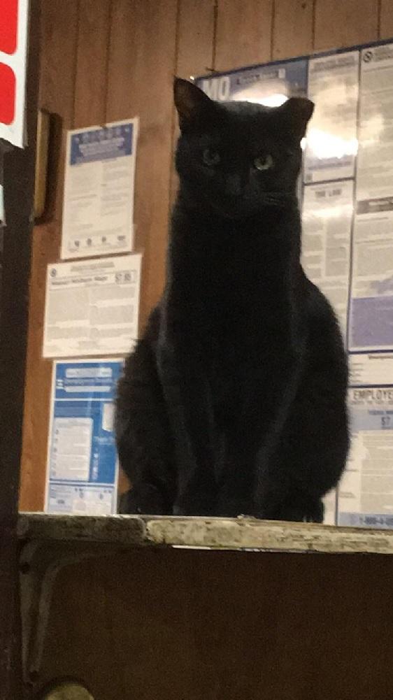 mini panther shop cat 2