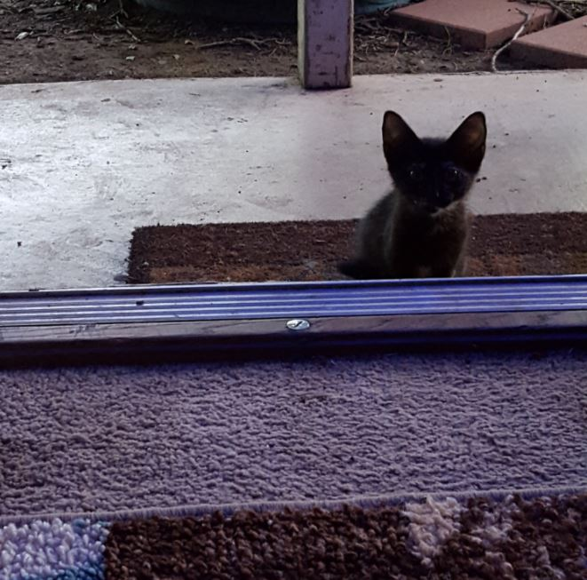 tortie kitten visitor at the door 1