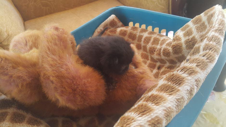 black kitten and teddy bear 2