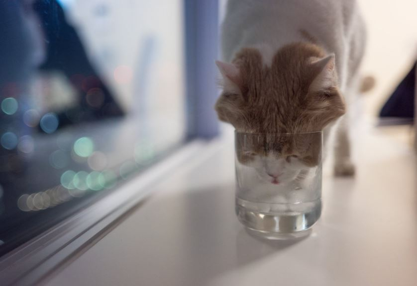 cat drinks out of cup