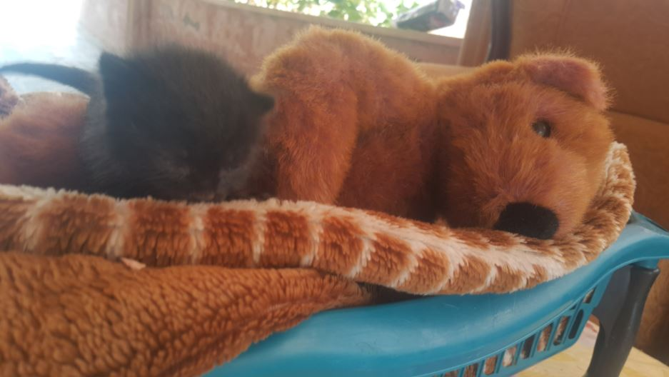 black kitten and teddy bear 4