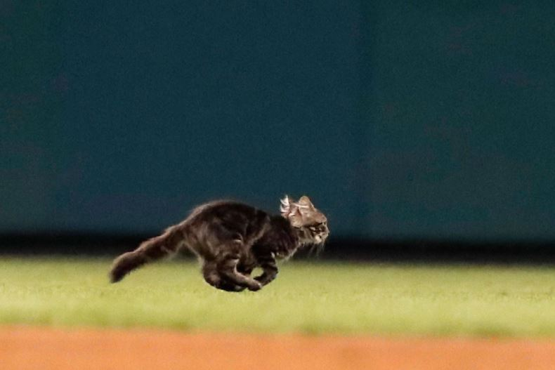 baseball rally cat st louis cardinals