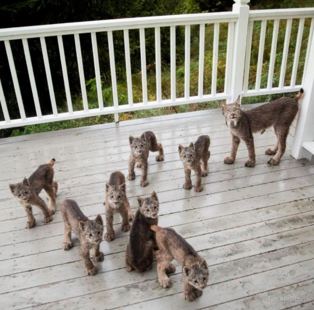 lynx family on porch 1