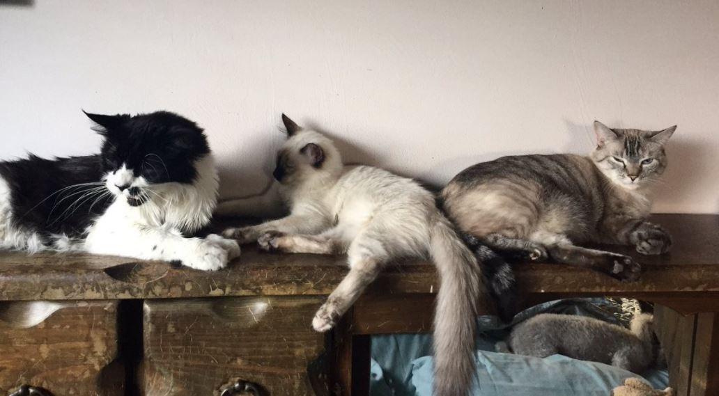 ernest hemingway cats 1