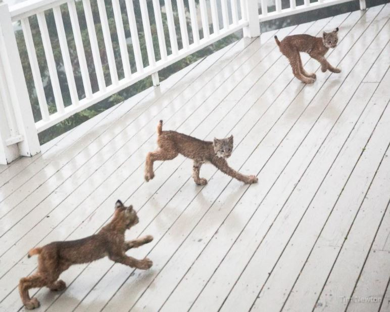 lynx family on porch 3