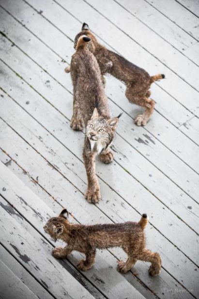 lynx family on porch 2