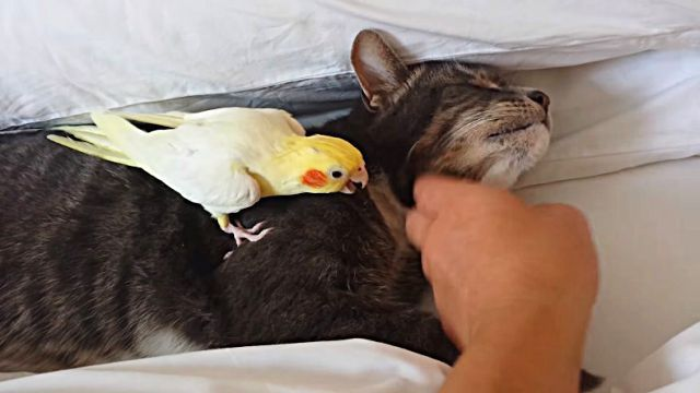 bird protects cat friend