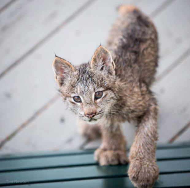 lynx family on porch 4
