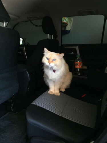 simba the cat in the car 1