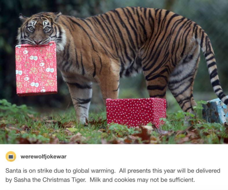 sasha the christmas tiger 1