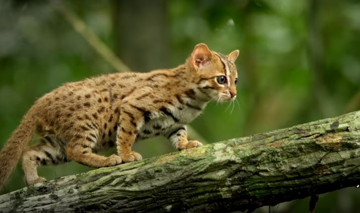 rusty spotted cat 5