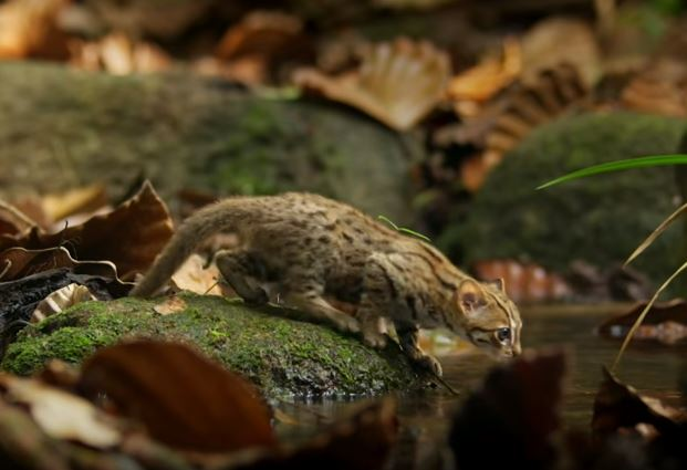 rusty spotted cat 4