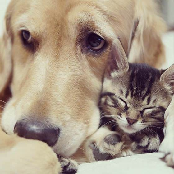 golden retriever raises kitten 3