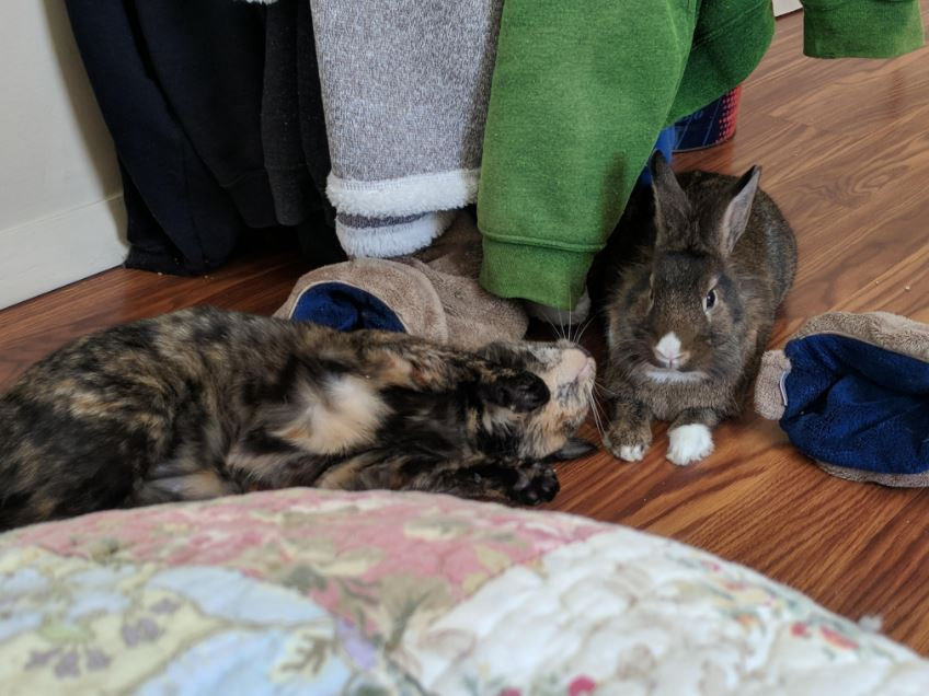 cat and therapy bunny 4