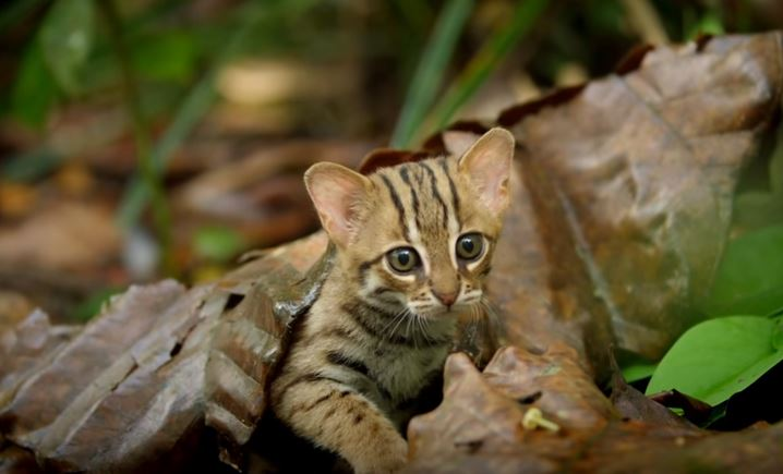 rusty spotted cat 7
