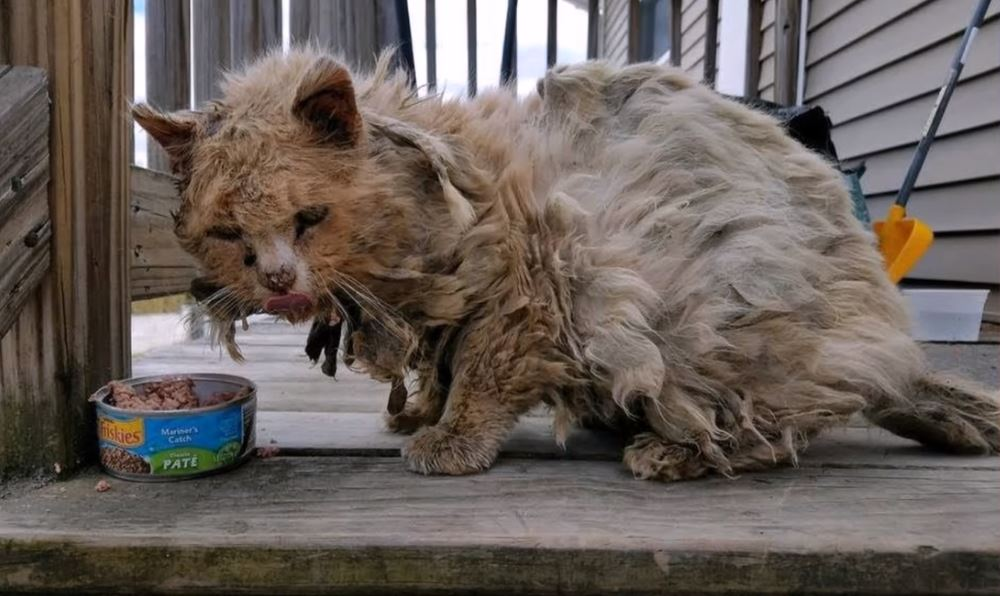 matted cat gets rescued 1