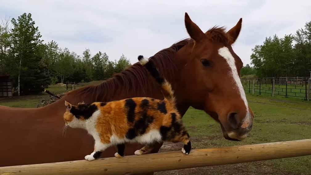 Image result for pic of a calico cat on a horse