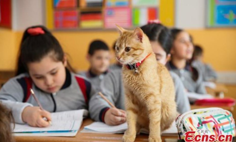 cat attends school in turkey 2
