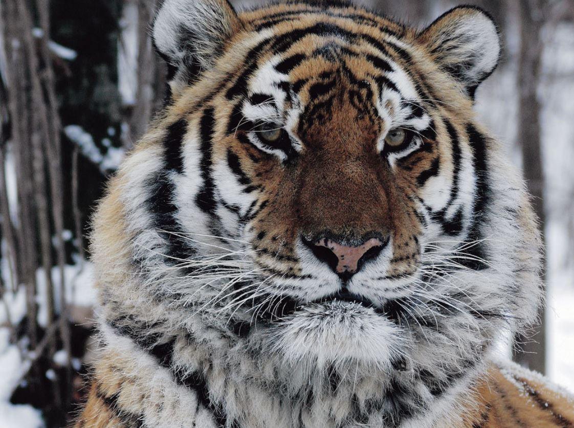 tiger revenge