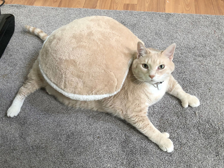 33 pound cat adopted 2