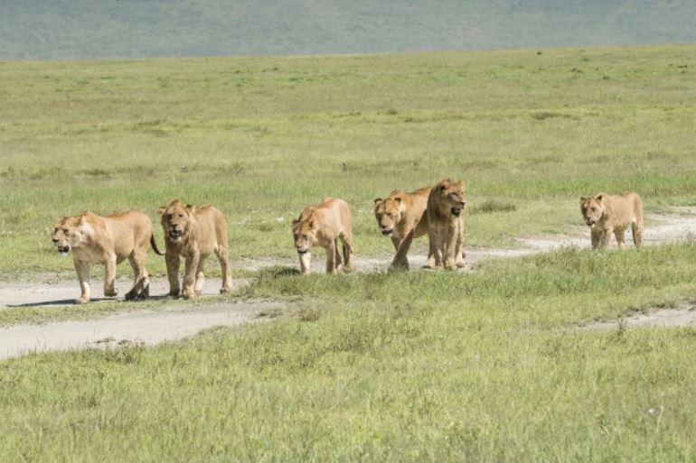 lions maul poachers who tried to kill rhinos